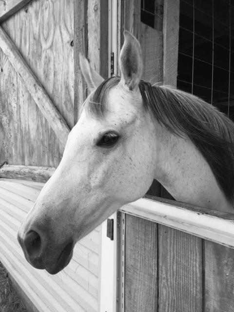 Meet Siggy at Pegasus Freedom Reins Ohio in Plain City, Ohio
