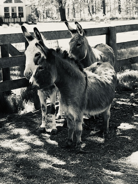 The Donkeys at Pegasus Freedom Reins Ohio - Animal Assisted Therapy
