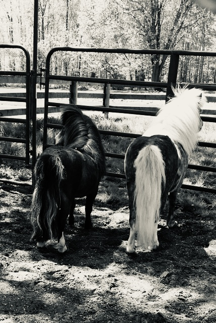 The Mini Horses at Pegasus Freedom Reins Ohio - Animal Assisted Therapy